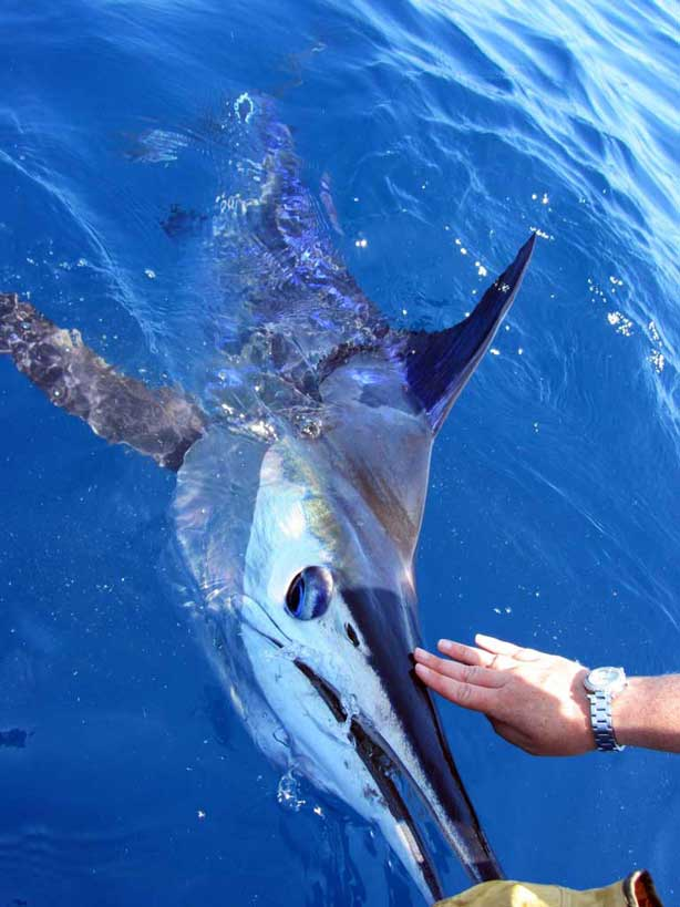 George Striped Marlin Ulladulla